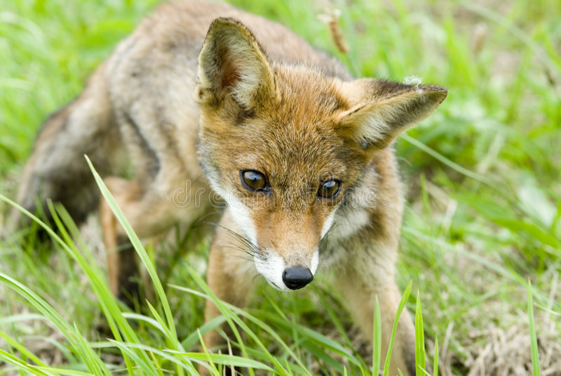 Fox fotografia stock