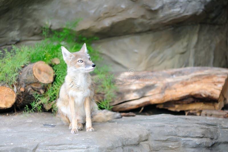 Fox fotos de stock royalty free