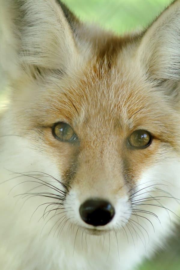 Fox fotografia de stock
