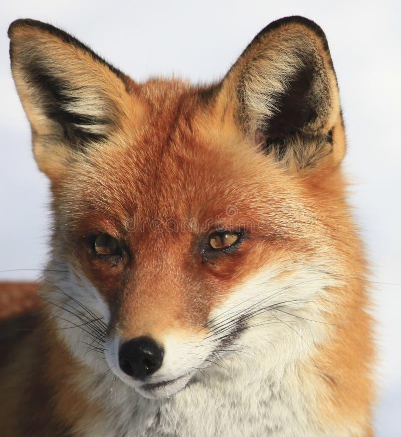 Fox stockfotos