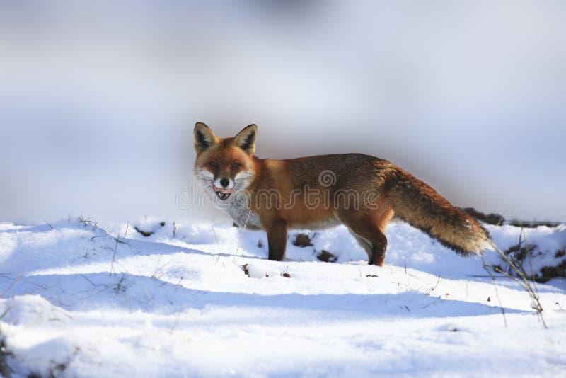 Fox imagen de archivo