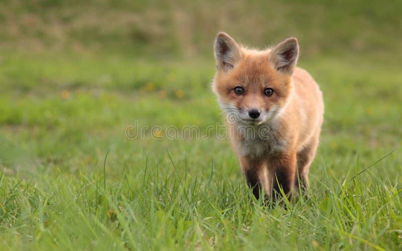 Download Fox stock photo. Image of predator, grass, gaze, sweet - 14888410