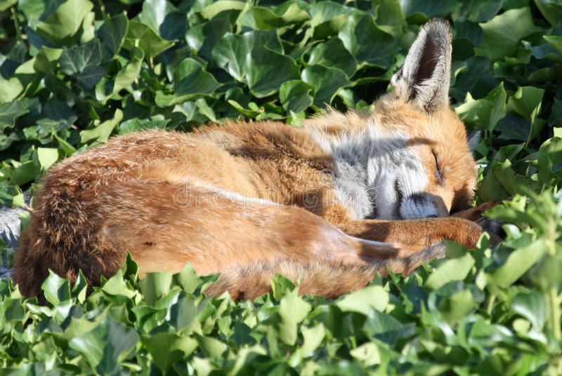 Fox imagens de stock royalty free