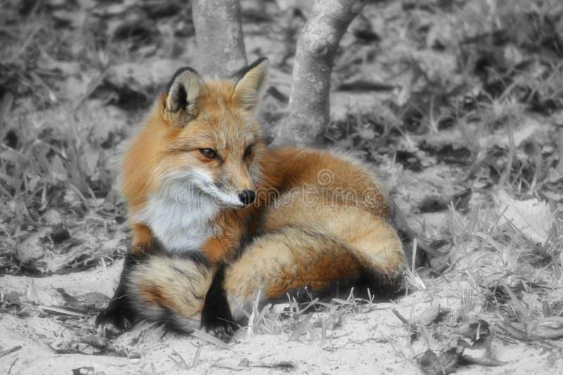 Fox fotografie stock