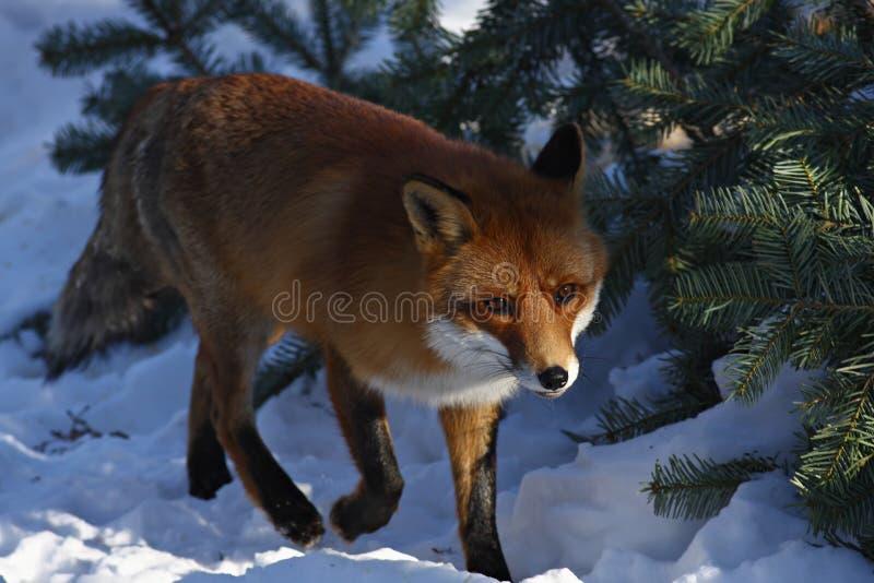 Fox immagine stock libera da diritti