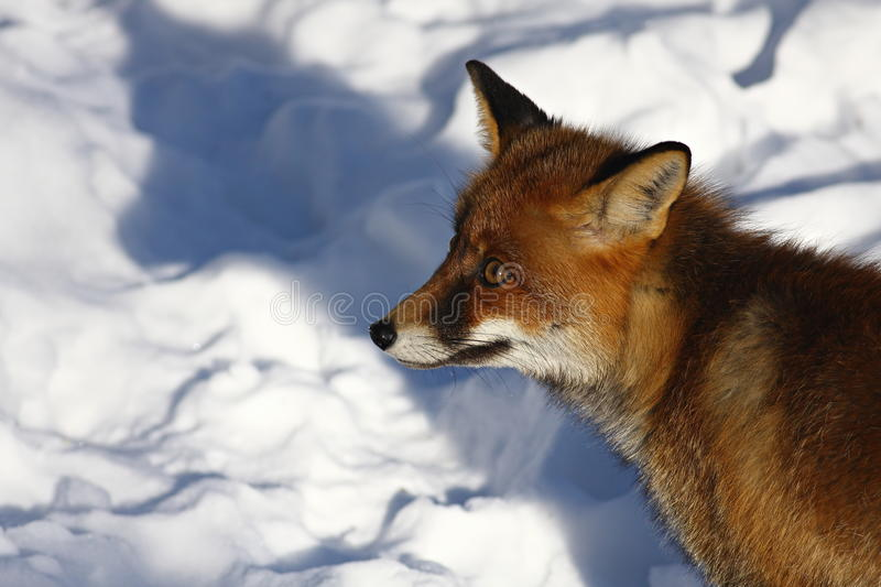 Download Fox stock image. Image of nature, wild, forest, yellowstone - 18833523