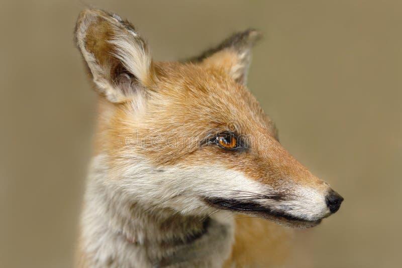 Fox immagine stock