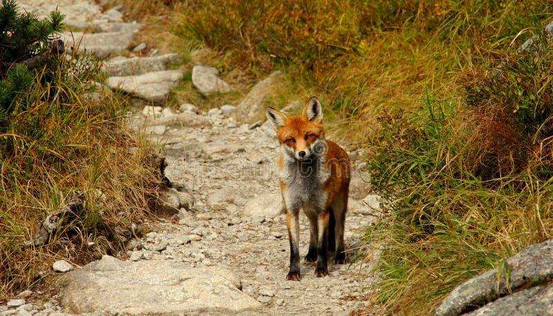 Fox imagens de stock