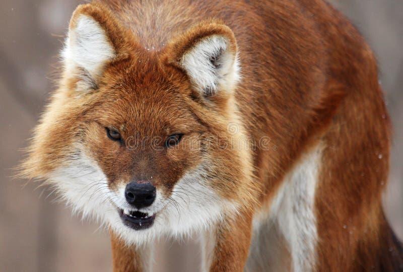 Fox immagini stock libere da diritti