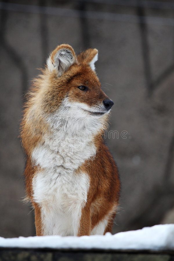 Fox photo stock image du renard mignon regarder penser - Renard mignon ...