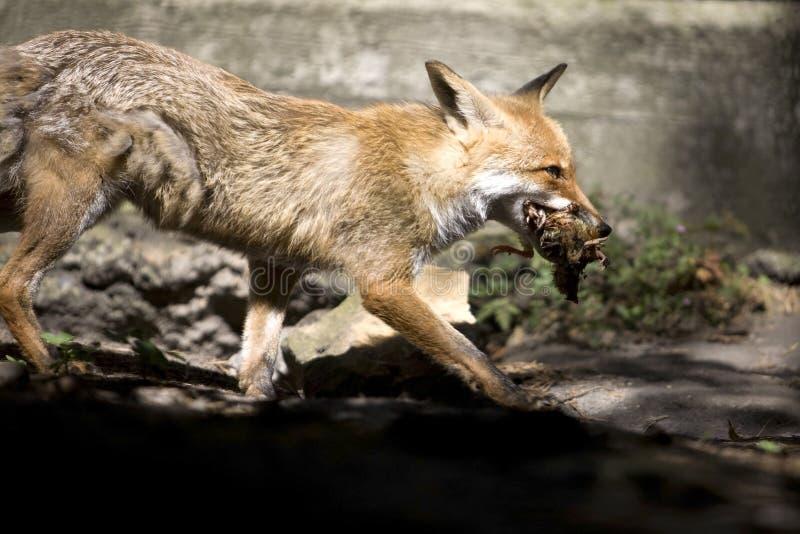 Fox foto de archivo