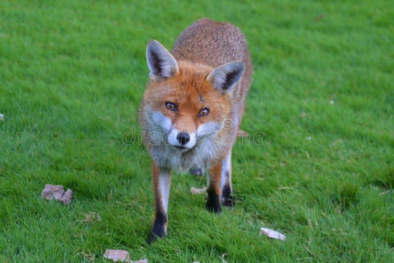 Fox Брайна в поле зеленой травы стоковая фотография rf