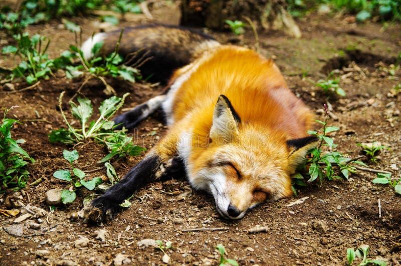 Fox спать на земле стоковые фото