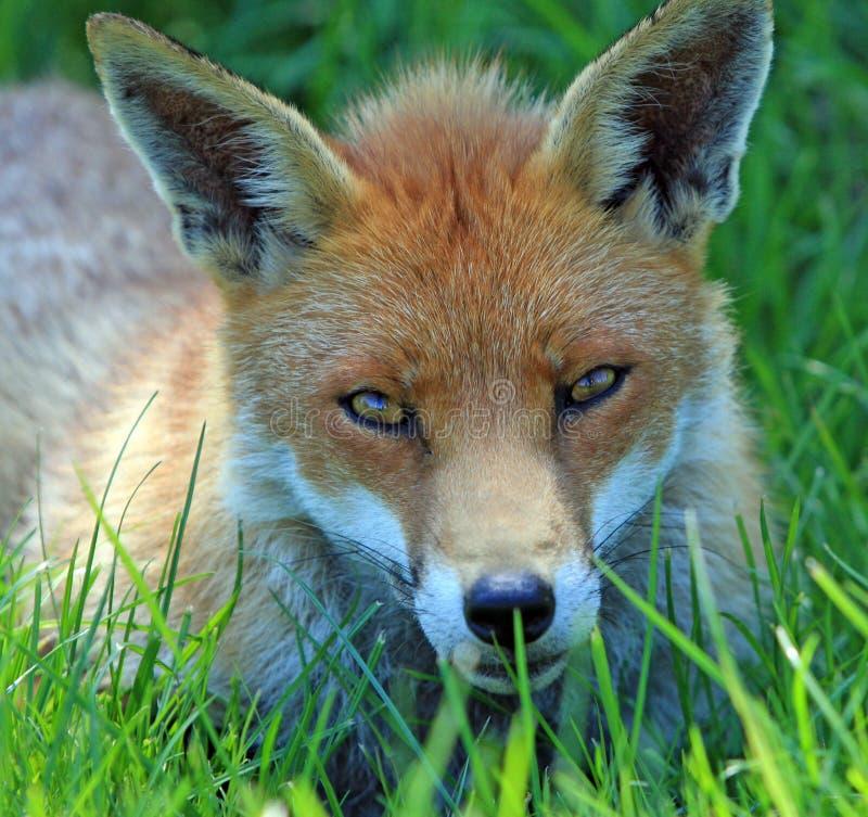 Fox stockfoto