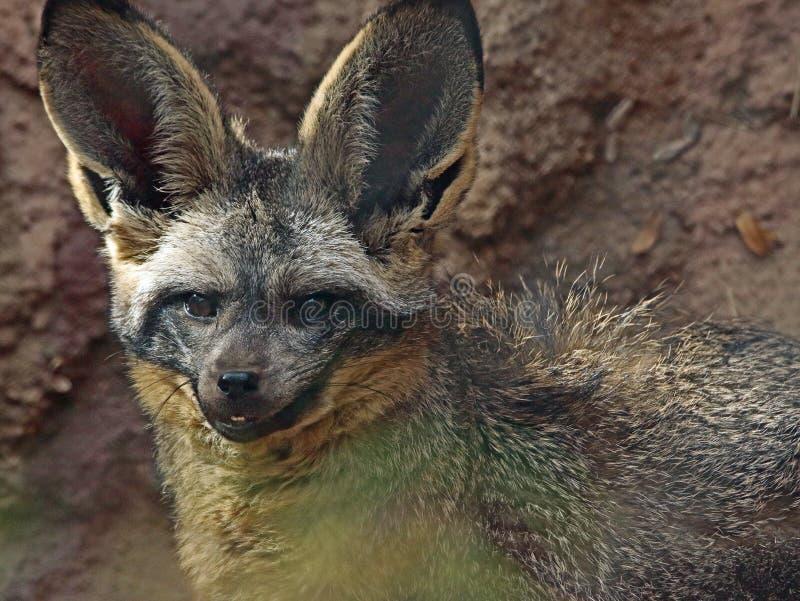 Fox. African Bat Eared Fox Close Up Face stock photo