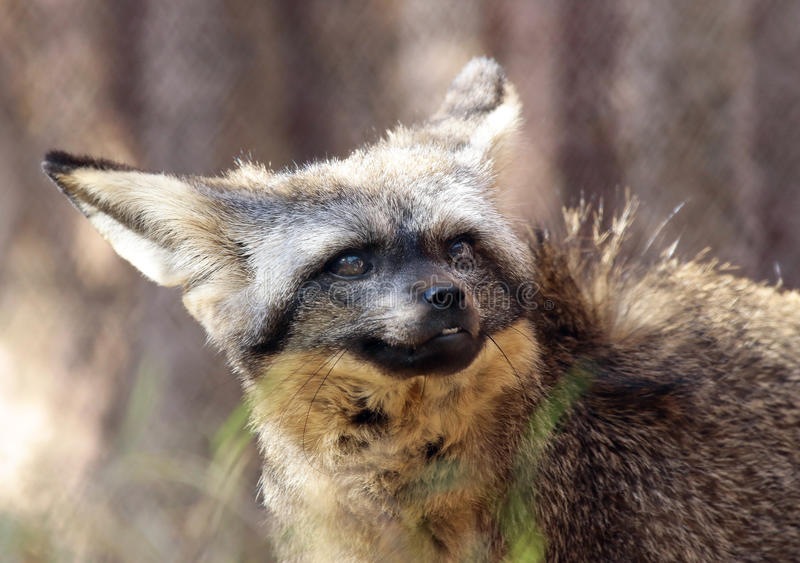 Fox. African Bat Eared Fox Close Up Face royalty free stock images