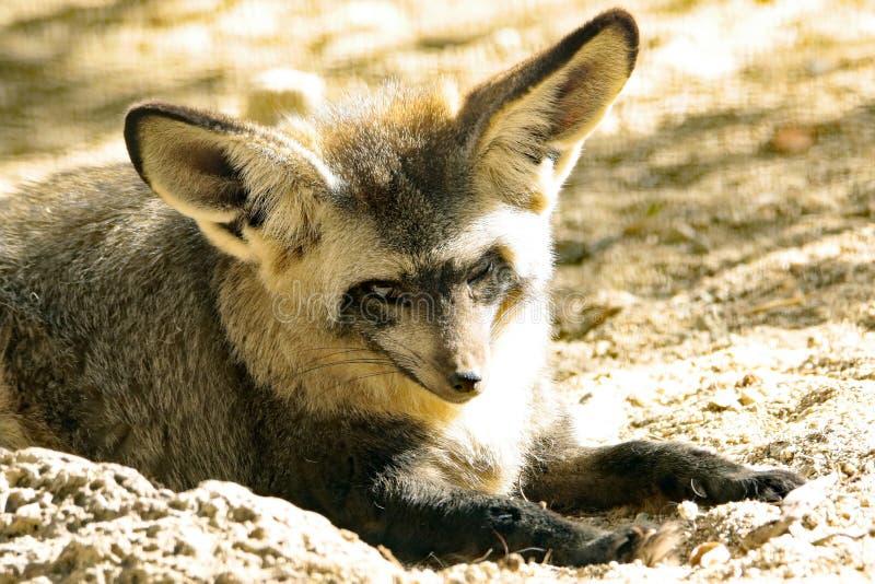 Fox. African Bat Eared Fox Close Up Face stock photography