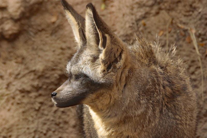 Fox. African Bat Eared Fox Close Up Face stock photos