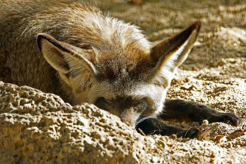 Fox. African Bat Eared Fox Close Up Face royalty free stock image