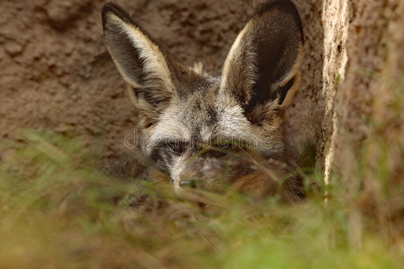 Fox. African Bat Eared Fox Close Up Face stock image