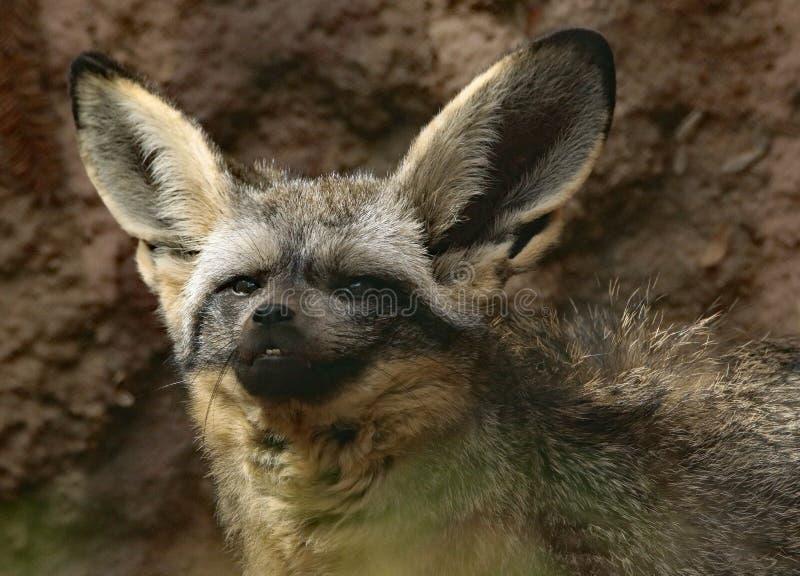 Fox. African Bat Eared Fox Close Up Face stock images