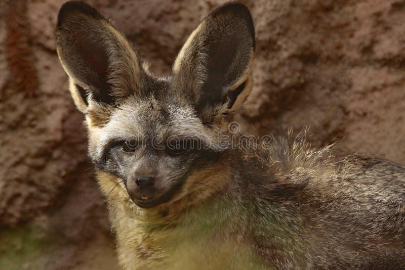 Fox. African Bat Eared Fox Close Up Face royalty free stock photos