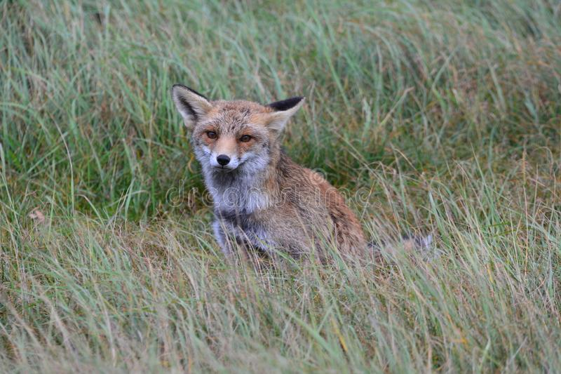 Fox in Amsterdamse Waterduinen. In October in the netherlands royalty free stock images