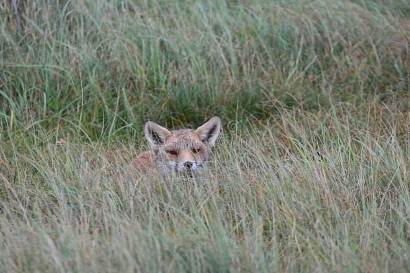 Fox in Amsterdamse Waterduinen. In October in the netherlands stock photography