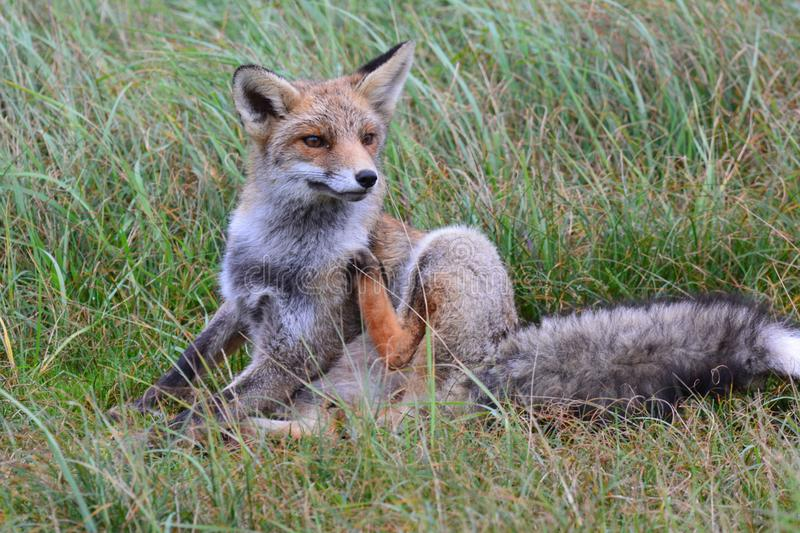 Fox in Amsterdamse Waterduinen. In October in the netherlands royalty free stock photos