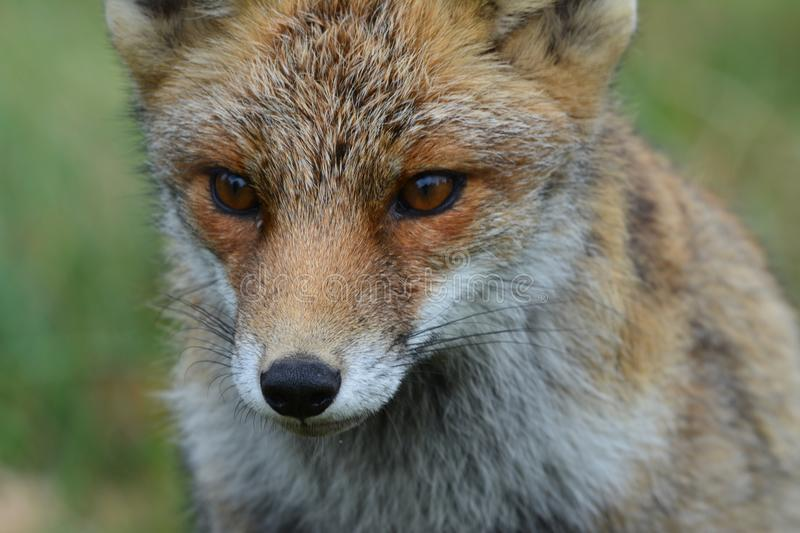 Fox in Amsterdamse Waterduinen. In October in the netherlands royalty free stock image
