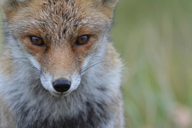 Fox in Amsterdamse Waterduinen. In October in the netherlands royalty free stock photography