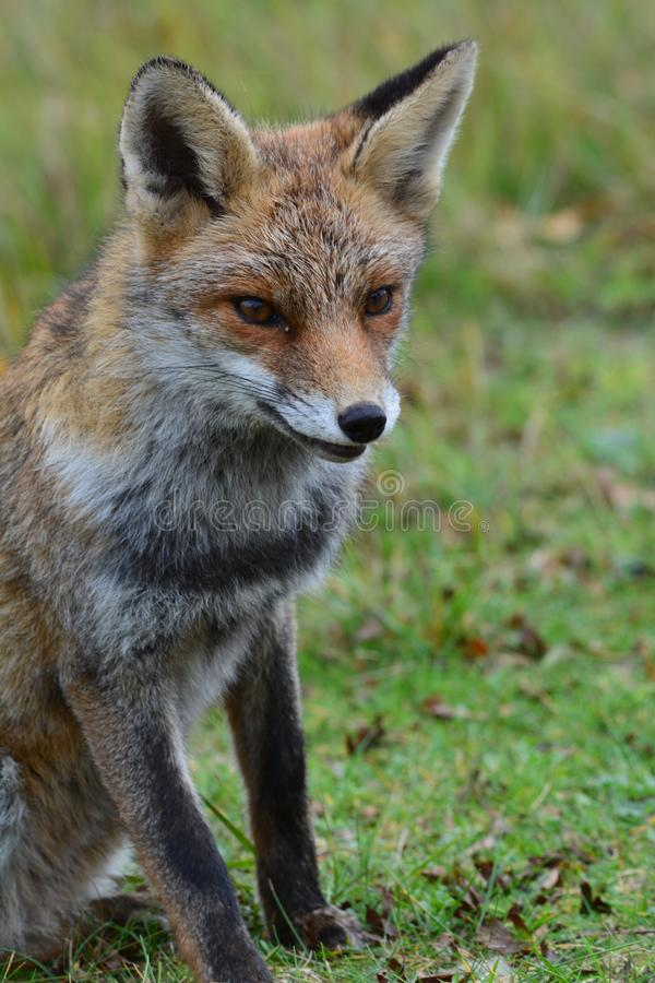 Fox in Amsterdamse Waterduinen. In October in the netherlands royalty free stock photo