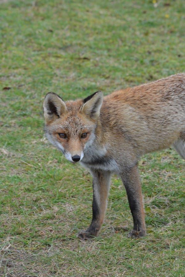 Fox in Amsterdamse Waterduinen. In October in the netherlands stock photos