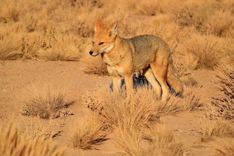 Fox andin ou Zorro Culpeo dans le domaine de brosse de désert, Altiplano du Chili image libre de droits