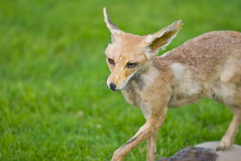 Fox Animal Royalty Free Stock Images