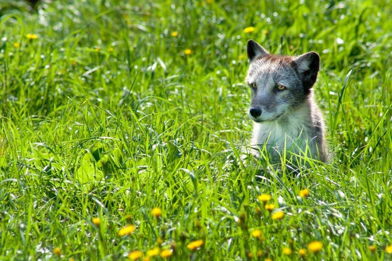 Fox arctique 01 image stock