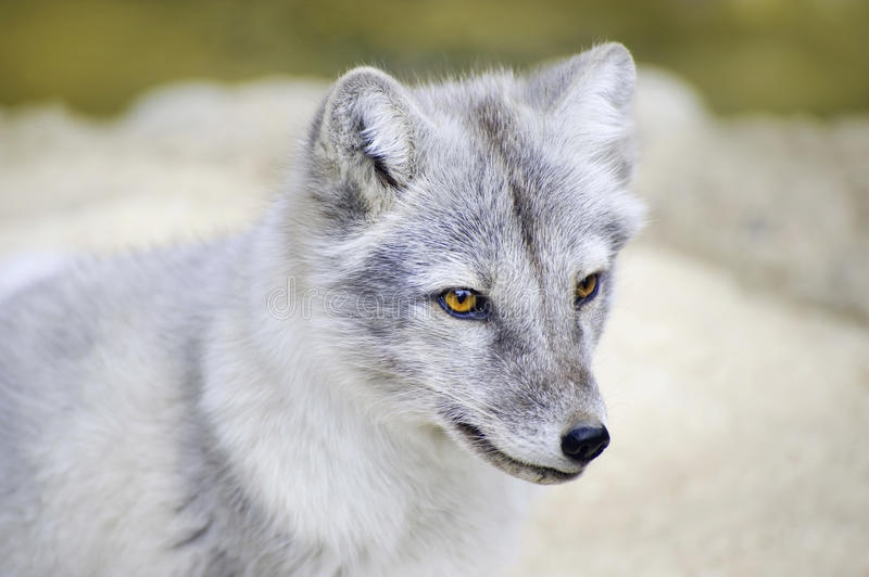 Fox arctique photo stock