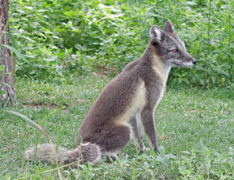 Fox arctique photographie stock libre de droits