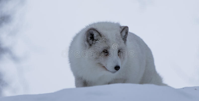 Fox arctique image stock