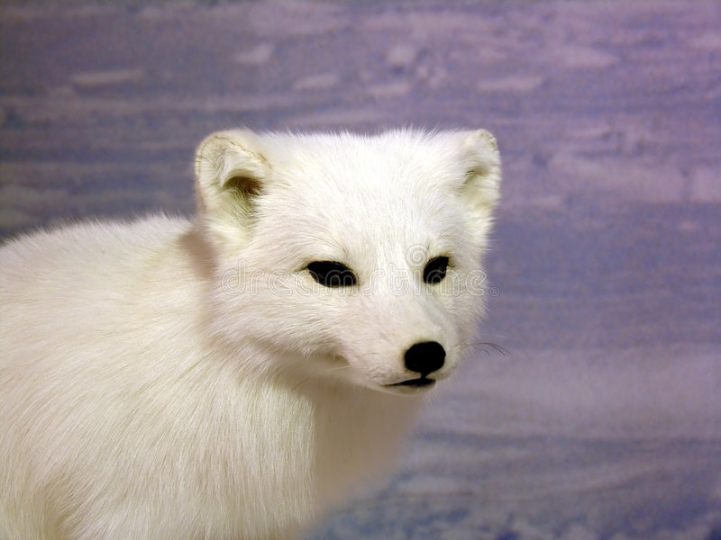 Fox arctique images libres de droits