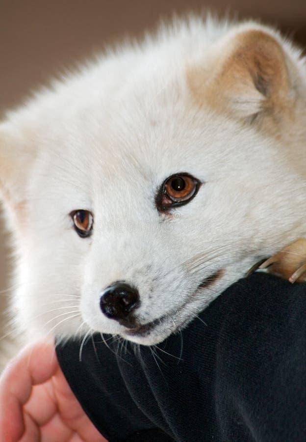 Fox arctique dans des bras photographie stock libre de droits