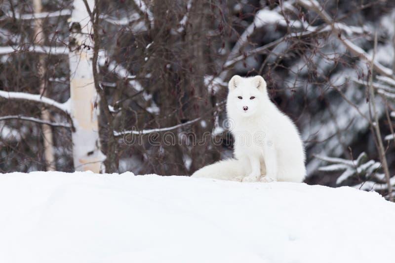 Fox arctique dans une scène d'hiver photos stock
