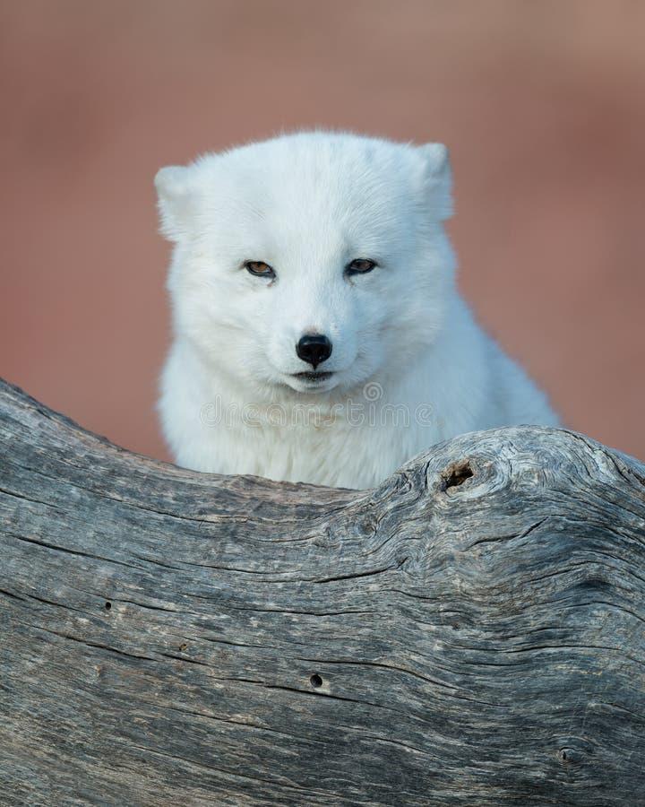 Fox arctique de bébé image libre de droits