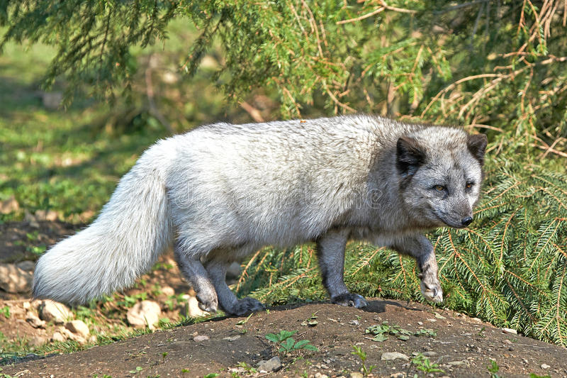 Fox arctique (Lagopus d'Alopex) photographie stock libre de droits