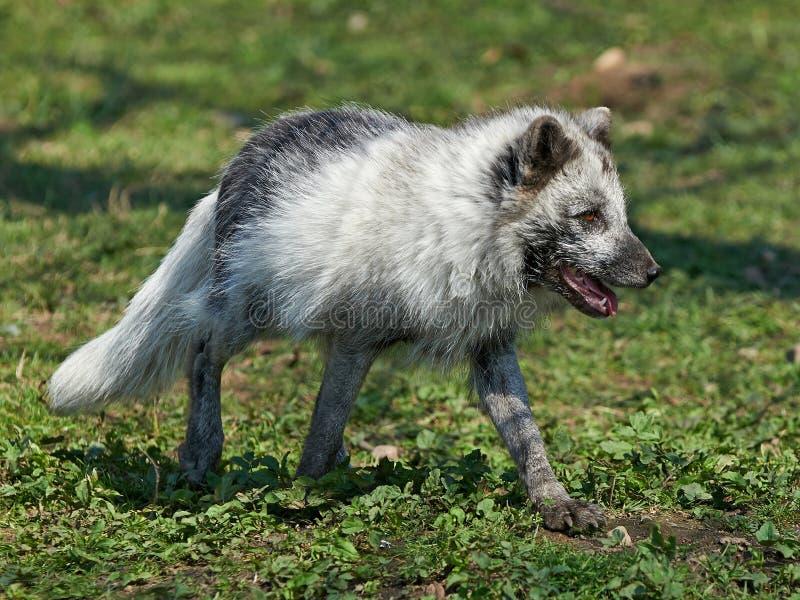Fox arctique (Lagopus d'Alopex) photos libres de droits