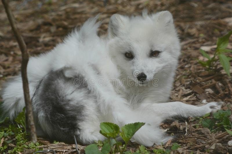 Fox arctique transitoire - perspective de ressort images libres de droits