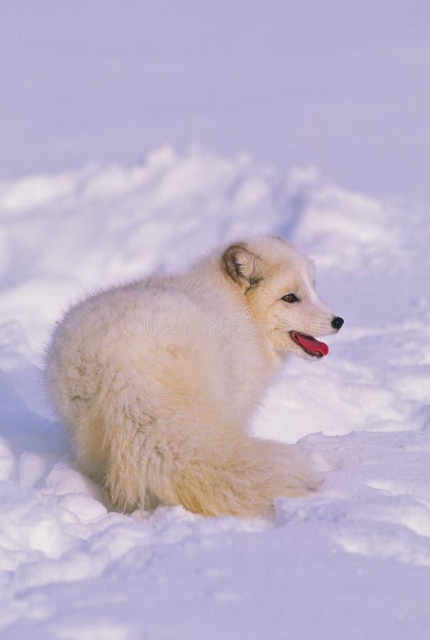 Fox artico in neve fotografia stock libera da diritti