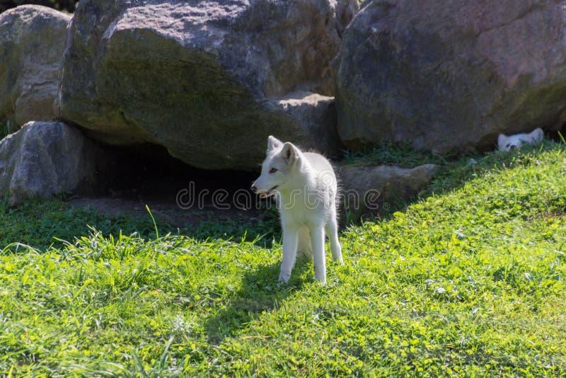 Fox artico in Parc Omega Canada immagine stock