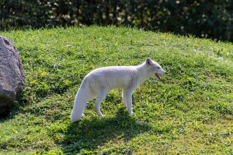 Fox artico in Parc Omega Canada fotografia stock libera da diritti