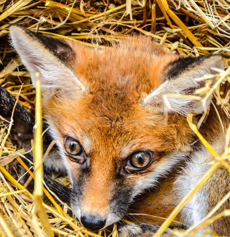 Fox-Baby lizenzfreie stockfotografie
